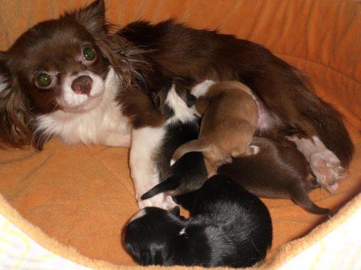 Gocha Puppies